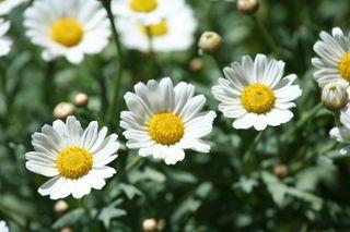 Margeriten - Margerite, Korbblütler, Zierpflanze, Wiesenblume, Blume, Zweikeimblättrig, krautig