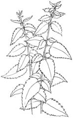 Brennnessel - sw - Brennnessel, Wildkraut, Heilpflanze, Schmetterlingsweide, Illustration