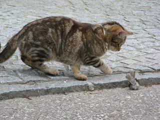 Katze mit Beute #3 - Katze, Beute, Beutetrieb, Jagdtrieb, Haustier, Vogel, Sperling