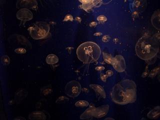 Quallen - Quallen, Meer, Aquarium, Qualle, Unterwassertier, blau