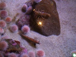 Seeigel - Seeigel, Stachelhäuter, Aquarium, Meer, Korallenriff, Riff