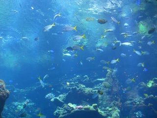 Füsiliere - Tiere, Fische, Aquarium, fusilier fish, Füsiliere, blau, gelb