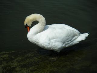 Schwan beim Putzen#1 - Schwan, schwimmen, Vogel, weiß, Federn, Ente, braun, Wasser, Wasservogel