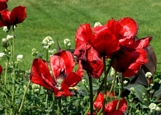 Mohnblüte - Mohn, Blüte, rot, Kontrast, Staubgefäß, Pollen, Klatschmohn, Papaver rhoeas, Wiesenblume, Kapsel, verblüht, rot, Samenkapsel, haarig, behaart