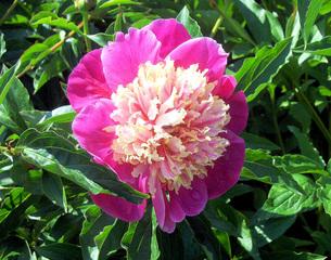 Päonie, Pfingstrose - Pfingstrose, Pfingstrosengewächs, Päonie, Bauernpfingstrose, Heilpflanze, Blüte, zweifarbig, gefüllt, rosa, pink, rot