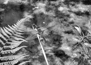 Libelle - Libelle, Sommer, fliegen, Flügel, Hautflügel, Biologie, Insekten, Gliederfüßler, Insekt, Flügelpaar, Gewässer, Tümpel, See, Teich
