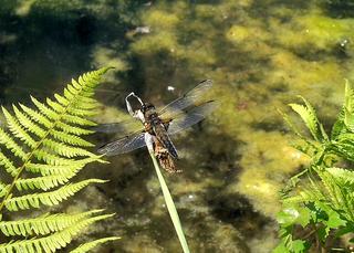 Libelle Plattbauch männlich - Libelle, Sommer, fliegen, Flügel, Hautflügel, Biologie, Insekten, Gliederfüßler, Insekt, Flügelpaar, Gewässer, Tümpel, See, Teich, männlich