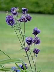 Akelei - Akelei, krautig, Gartengewächs, Gartenpflanze, Zierpflanze, veredelt, Hahnenfußgewächs, violett, lila