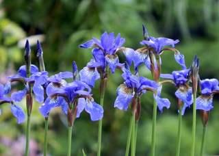 blaue Irisblüten - blau, Iris, Schwertlilie, krautig, Blüte, Blüten, Lilie, Gartenblume, Blume, Pflanze