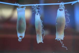 Eikapseln des Kleingefleckten Katzenhais (Scyliorhinus canicula) - Haie, Knorpelfische, Grundhai, Katzenhai, Eikapseln, Seemäuse, mermaid's purses, Dottersack, offene Kiemen