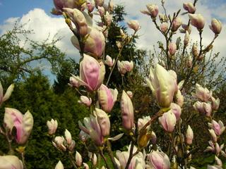 Magnolienblüte - Magnolie, Blüte, Ast, Zweig