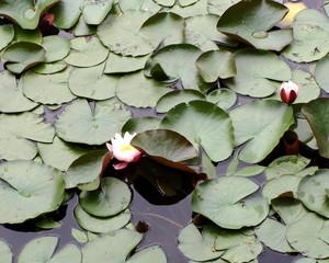Seerosen mit Schwimmblättern - Seerose, Seerosen, Wasserpflanze, Teich, Blätter, Gewässer, Blüte, Wasserpflanze, Schwimmblätter, Uferand, Knospe