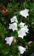 Glockenblume - Blume, Glockenblume, weiß, Blüte, Gartengewächse, Staubgefäße, Stiel, Stängel