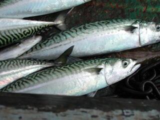 Fische - Makrele - Fische, Meer, Nordsee, Fisch, Kutter, Fischerei, Makrele, Makrelen, Nahrung, Essen, Verkauf