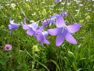 Wiesen-Glockenblume - Wiese, Glockenblume, Wiesenglockenblume, sonnenwendig, Lichtpflanze