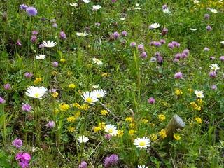 Wiese #1 - Wiese, Blumen, Blüten, Gräser, Unkraut, grün, Frühling, blühen, Garten, Natur, Kräuter, Margerite, Klee