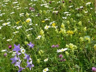 Wiese #3 - Wiese, Blumen, Blüten, Gräser, Unkraut, grün, Frühling, blühen, Garten, Natur, Kräuter, Margerite, Klee, Glockenblume