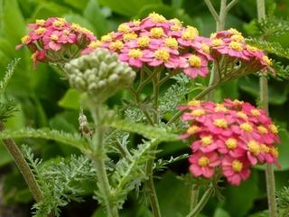 Schafgarbe - Achillea millefolium, Kräuter, Pflanzen, Blumen, Blüten, Schafgarbe, Korbblüte