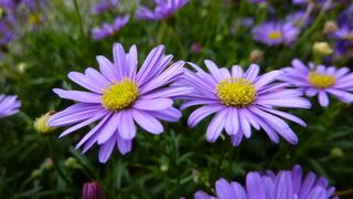 Blaues Gänseblümchen - Blaue Gänseblümchen, Australisches Gänseblümchen, Korbblütler, Zierpflanze, Gartenpflanze, blau, violett