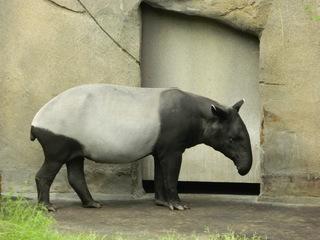 Tapir - Unpaarhufer, Säugetier, Rüssel, Pflanzenfresser, Tapir, Schabrackentapir, zweifarbig, schwarz-weiß, Pflanzenfresser, Einzelgänger, nachaktiv