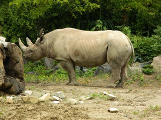 Nashorn - Nashorn, Rhinozeros, Unpaarhufer, Säugetier, Pflanzenfresser, Afrika, 2 Hörner, Steppenbewohner, Dickhäuter