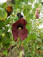 Kannenpflanze#1 - Kannenpflanze, Bedecktsamer, Nepenthes, tropisch, fleischfressend