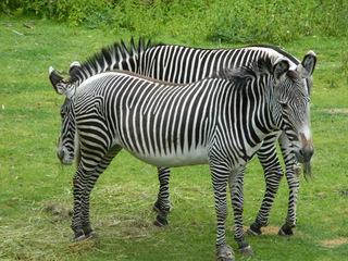 Zebras - Zebra, Unpaarhufer, Streifen, Pferd, Mähne, Grasfresser, Zoo, Gehege, schwarz-weiß, gestreift, Savanne, Tarnung, Camouflage
