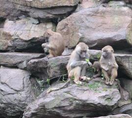 Pavian - Zoo, Affe, Pavian, Artenschutz, gefährdete Art, Backentaschenaffe