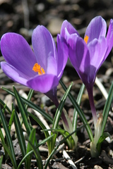 Krokus - Krokus, Blume, Frühling, Jahreszeiten, lila, Frühblüher
