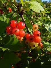 Johannisbeeren - Beeren, Johannisbeere, Ribes, Ribisel, Träuble, Meertrübeli, Stachelbeergewächs, Beerenobst, Strauch, Laubblätter