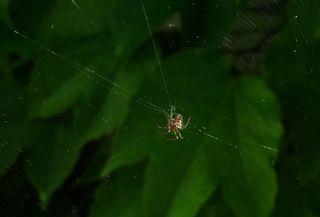 Kreuzspinne - Spinne, Kreuzspinne, Spinnennetz, Webspinne, Radnetzspinne, Netz, Spinnweben, Signalfaden