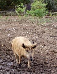 Wollschwein - Schwein, Borsten, lockig, Wollschwein, Haustier, Haarkleid, behaart