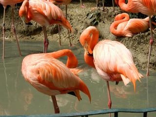 Flamingos#1 - Flamingo, Vögel, Kubaflamingo, Hals, Schnabel, rosa, Wasser