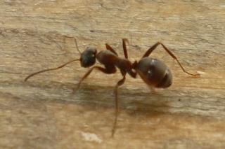 Ameise - NaWi, Ameisen, Insekten, Hautflügler, Lebewesen, Ameise, Insekt, Anlaut A, staatenbildend