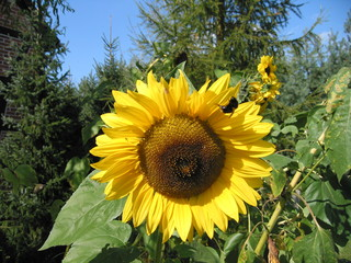 Sonnenblume mit Hummel - Sonnenblume, Blume, Spätsommer, Herbst, Korbblütler, Blüte, gelb, Hummel
