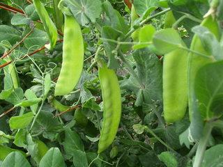 Erbsen#2 - Erbsen, Schote, Gartenerbse, Speiseerbse, Hülsenfrucht, Hülse, Nutzpflanze, Gartenpflanze, Blattranke