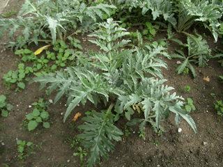 Artischockenpflanze - Artischocke, Kulturpflanze, Heilpflanze, distelartig, Korbblütler, Schuppenblätter, Blütengemüse, Heilpflanze, Knospe, Blütenstand, Nahrungsmittel, mediterran
