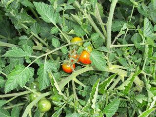 Tomaten - Tomate, Tomaten, wachsen, reifen, Blüte, Frucht, Gemüse, rot, grün, unreif, Garten, Nutzpflanze, Nachtschattengewächs