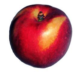 Nektarine #1 - Nektarine, Obst, Steinobst, Pfirsich, süß, glatt