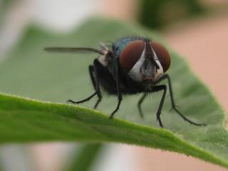 schillernde Persönlichkeit, Fliege #2 - Augen, Körperteile, Insekten, Fluginsekt, Zweiflügler, Sechsfüßer, Fliege, Flügel, Hautflügel, Netzaugen