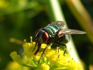 schillernde Persönlichkeit, Fliege #3 - Augen, Körperteile, Insekten, Fluginsekt, Zweiflügler, Sechsfüßer, Fliege, Flügel, Hautflügel, Netzaugen