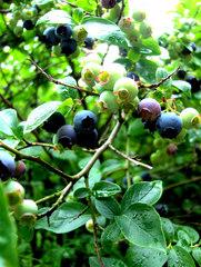Heidelbeere #1 - Heidelbeere, Heidelbeeren, Kulturheidelbeeren, Zucht, Sträucher, Strauch, Plantage, blau, Frucht, Obst, Beeren, reif, unreif