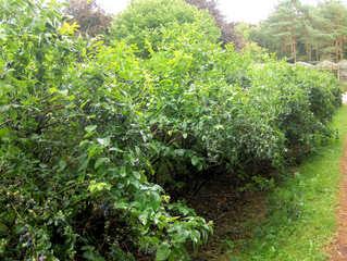 Heidelbeere #3 - Heidelbeere, Heidelbeeren, Blaubeere, Blaubeeren, Kulturheidelbeeren, Zucht, Sträucher, Strauch, Plantage, Obstanbau, blau, Frucht, Obst, Beeren, reif, unreif