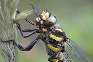 gestreifte Quelljungfer Libelle #2 - gestreift, Quelljungfer, Libelle, Libellen, Großlibelle, Edellibellenartige, schwarz, gelb, Cordulegaster bidentata