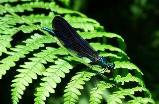 Blauflügelprachtlibelle   #1 - Libelle, Blauflügelprachtlibelle, Calopteryx virgo