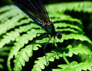 Blauflügelprachtlibelle  #2 - Libelle, Blauflügelprachtlibelle, Calopteryx virgo