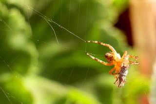 Junge Spinne beim Abendbrot - Spinne, Nahrung, Nahrungsaufnahme, Netz, Spinnennetz, Beute, Beutetier, Insekt, Webspinne, acht, fressen, Webnetz, Radnetzspinne, Gliederfüßer, Spinnentier, räuberisch