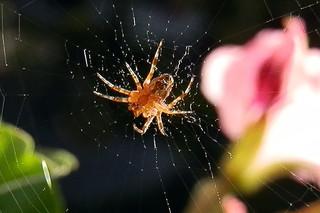 Junge Spinne wartend - Spinne, Nahrung, Nahrungsaufnahme, Netz, Spinnennetz, Beute, Beutetier, Webspinne, acht, fressen, Webnetz, Radnetzspinne, Gliederfüßer, Spinnentier, räuberisch