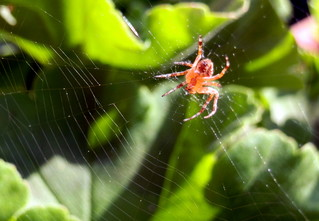 lauernde Spinne - Spinne, Nahrung, Nahrungsaufnahme, Netz, Spinnennetz, Beute, Beutetier, Webspinne, acht, fressen, Webnetz, Radnetzspinne, Gliederfüßer, Spinnentier, räuberisch