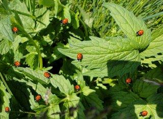 Marienkäfer auf grünen Blättern - Marienkäfer, Pflanze, rot, schwarze Punkte, biologische Schädlingsbekämpfung